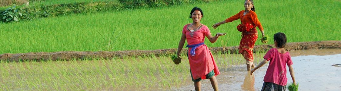 donne che lavorano in una risaia in Nepal